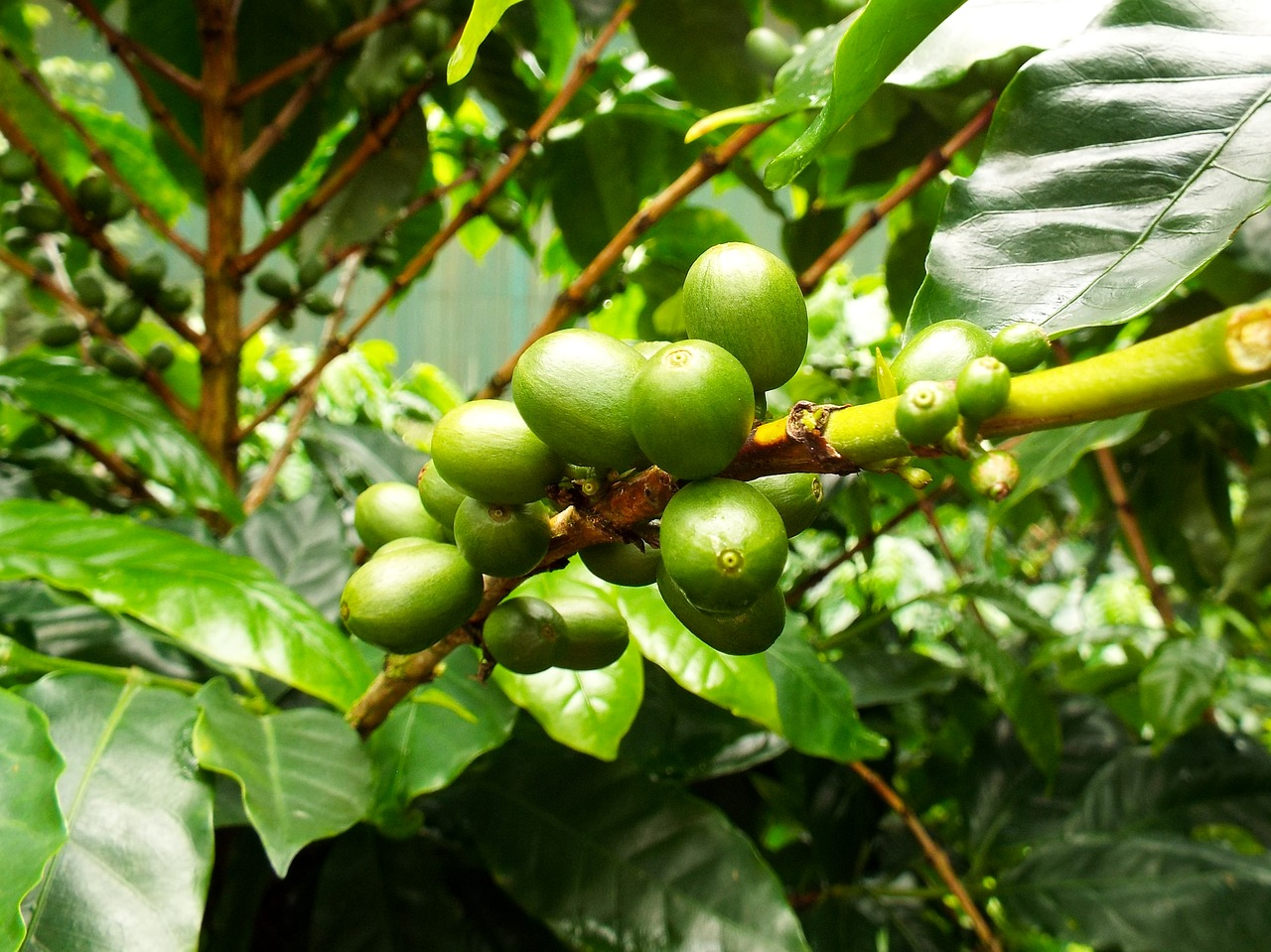 Inmature coffee fruit