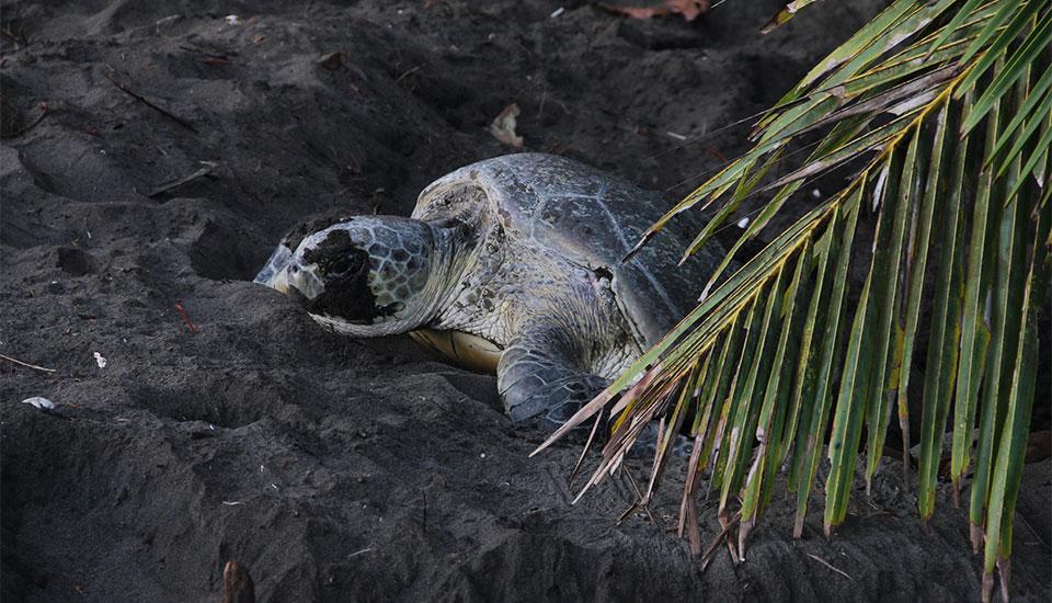 Green Turtle at Laguna Lodge