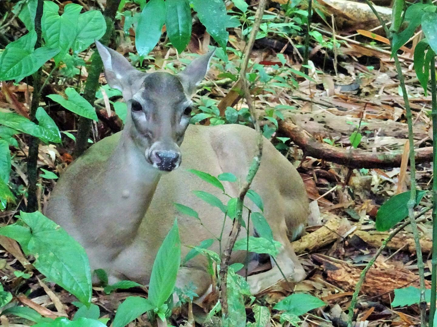 Whitetail deer, forest Costa Rica