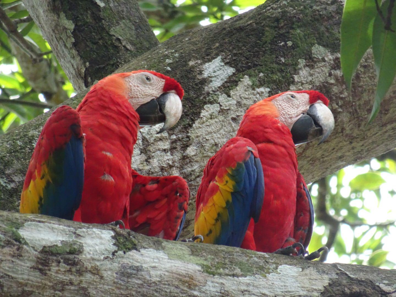 Scarlet macaws, fauna Costa Rica