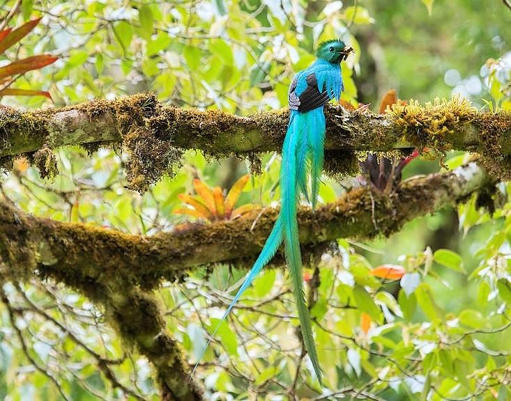 Pharomachrus mocinno - nombre común Quetzal