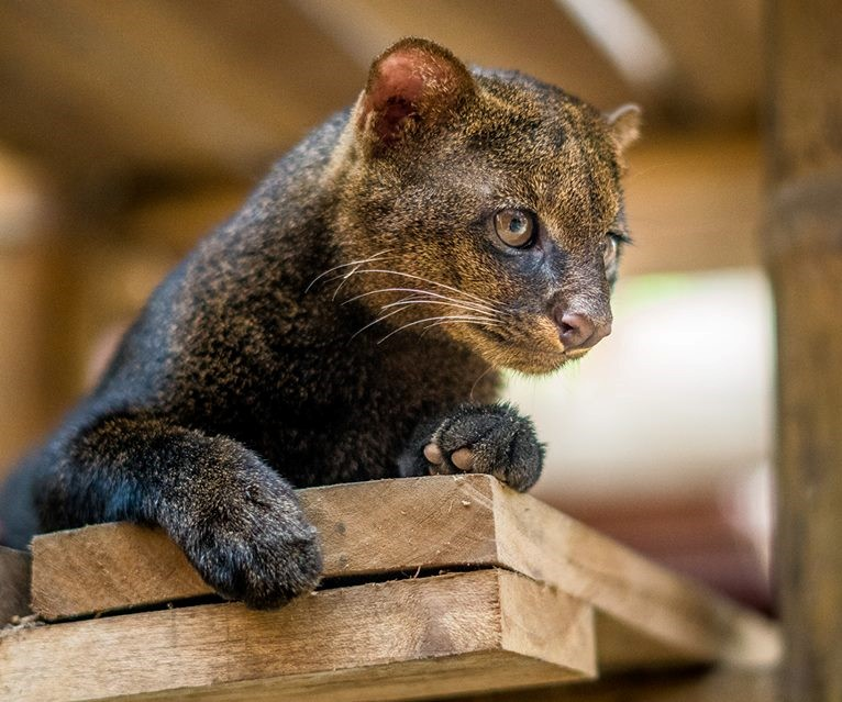 Jaguarundi from Jaguar Rescue Center