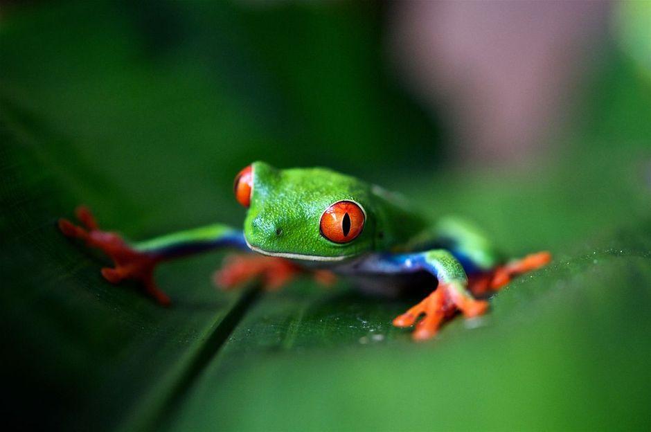 imagen de rana de ojos rojos posada sobre una hoja de plátano en el trópico