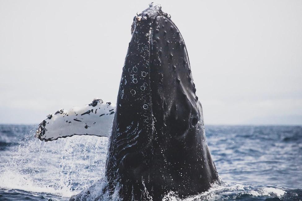 imagen de una ballena jorobada saltando en mar abierto en el par pacifico de costa rica