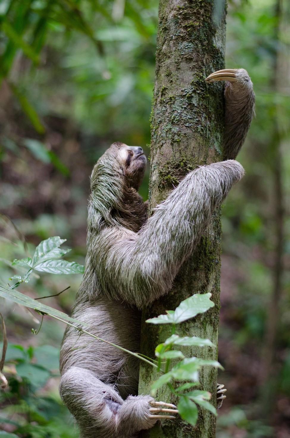 a three finger sloth climbing a tree, costa rica