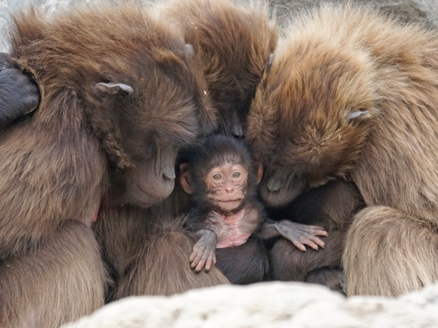 baboons with baby