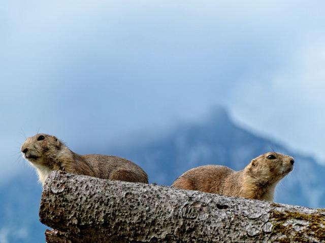 marmot lookouts