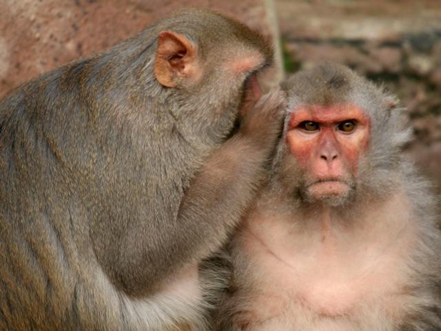 monkey whispers