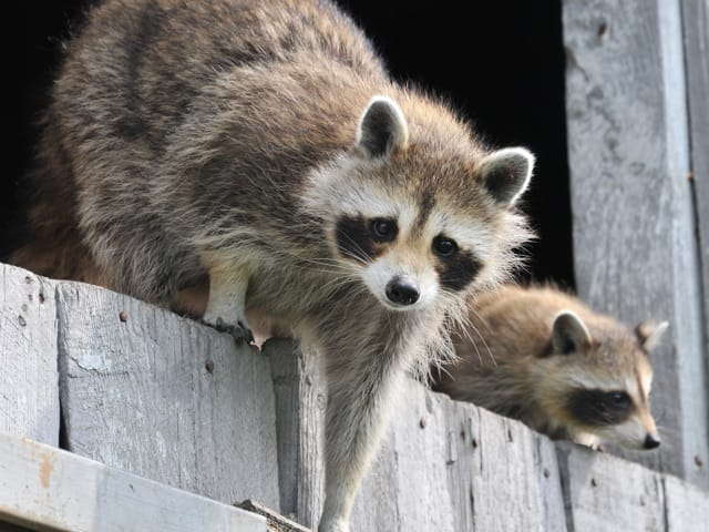 raccoon on ledge