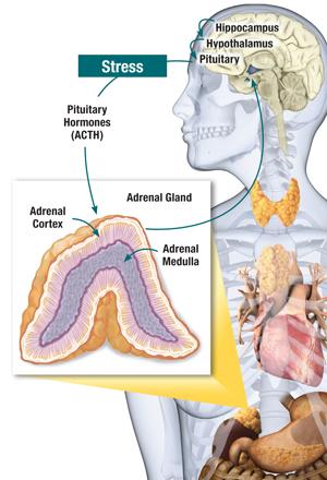 Adrenal Dysfunction Genetic Optimization