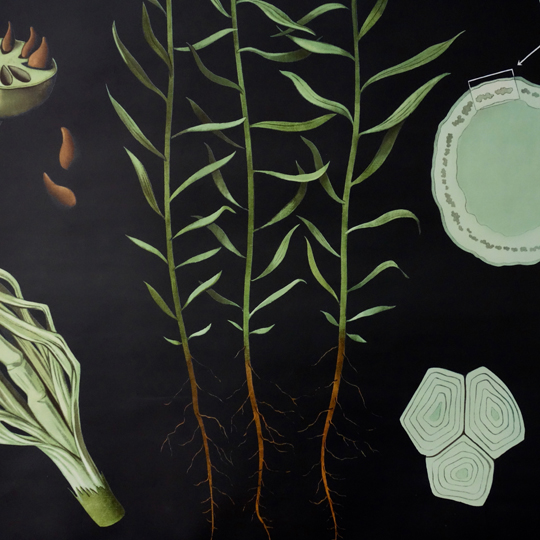 Botanical Wall Chart- Linium