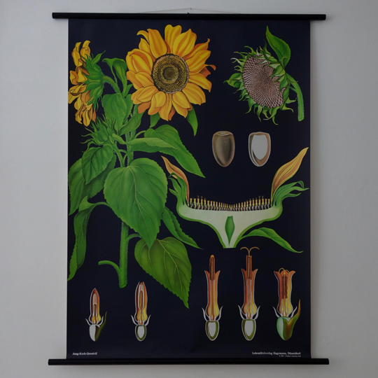 School Botanical Wall Chart - Sunflower