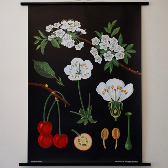 Botanical Wall Chart- Cherry