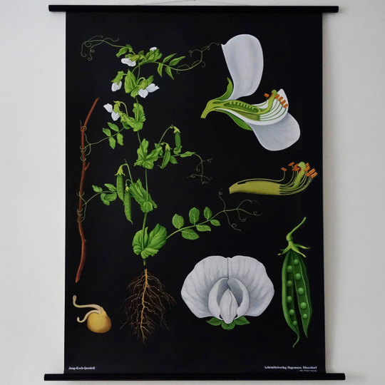 Botanical Wall Chart - Pea