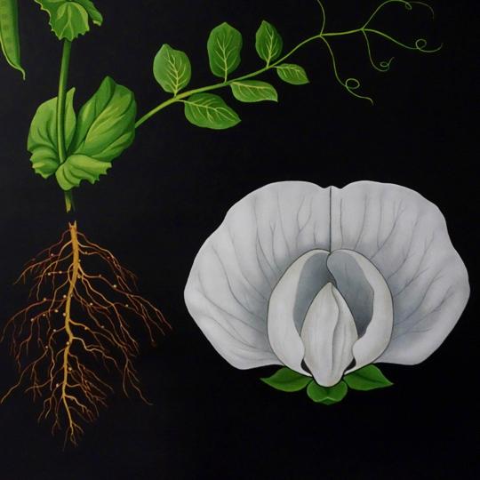 Botanical Wall Chart - Pea