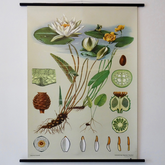 Botanical Wall Chart- White Water Lilly