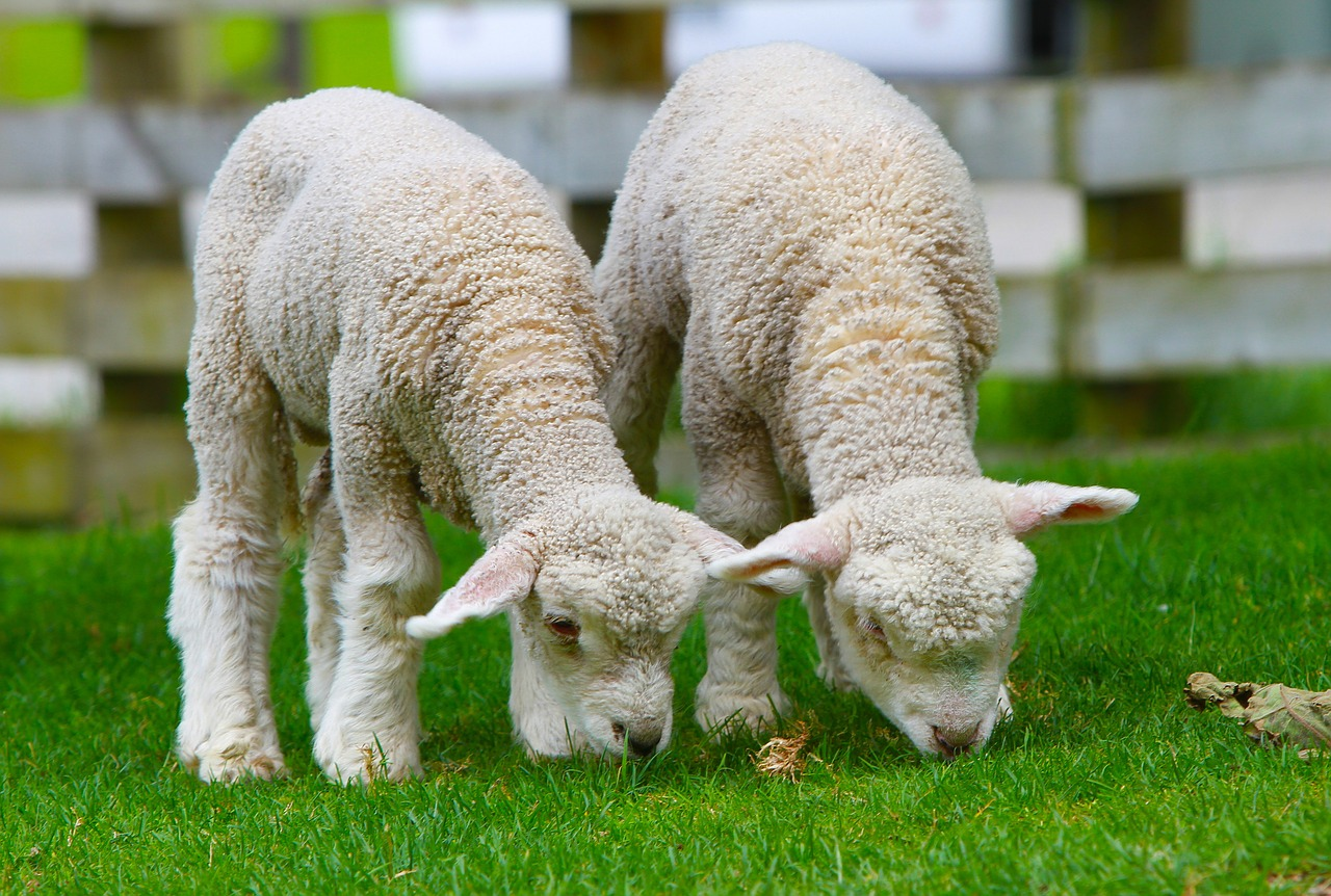 Two lambs grazing in a field