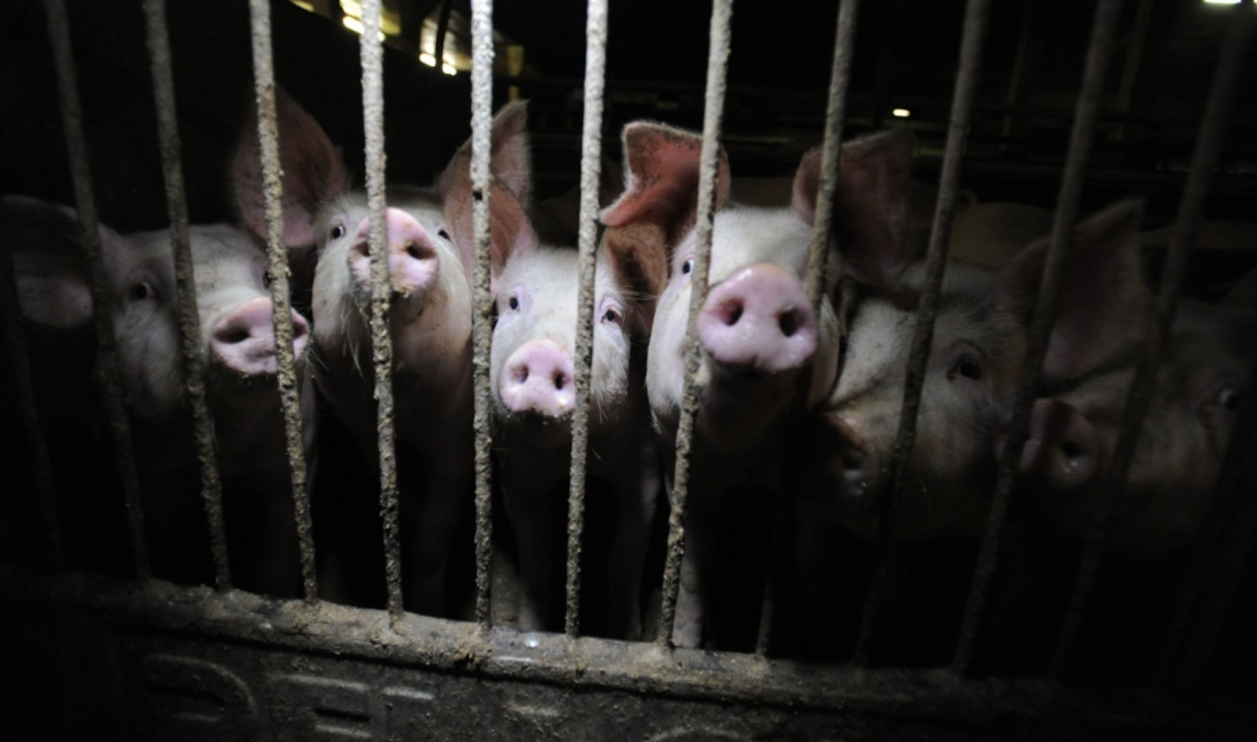 Pigs in a factory farm