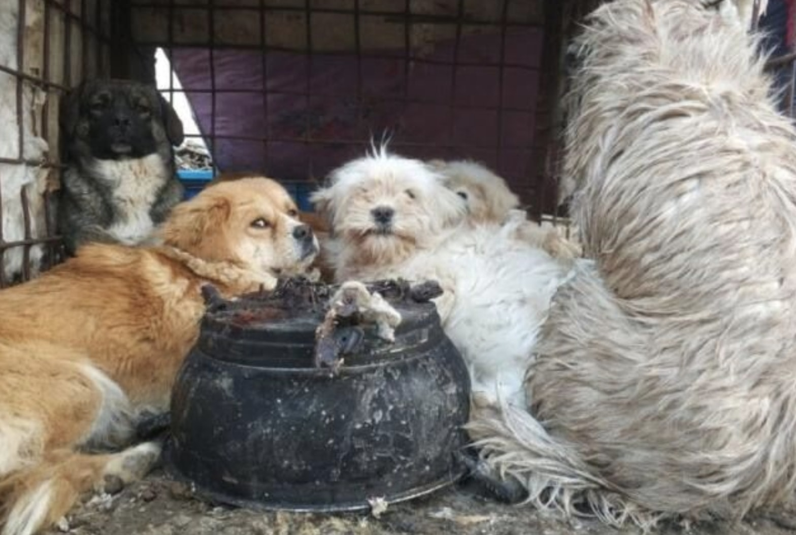 Terrified Dogs Rescued As Activists Shut Down Illegal Dog ... - photo#17