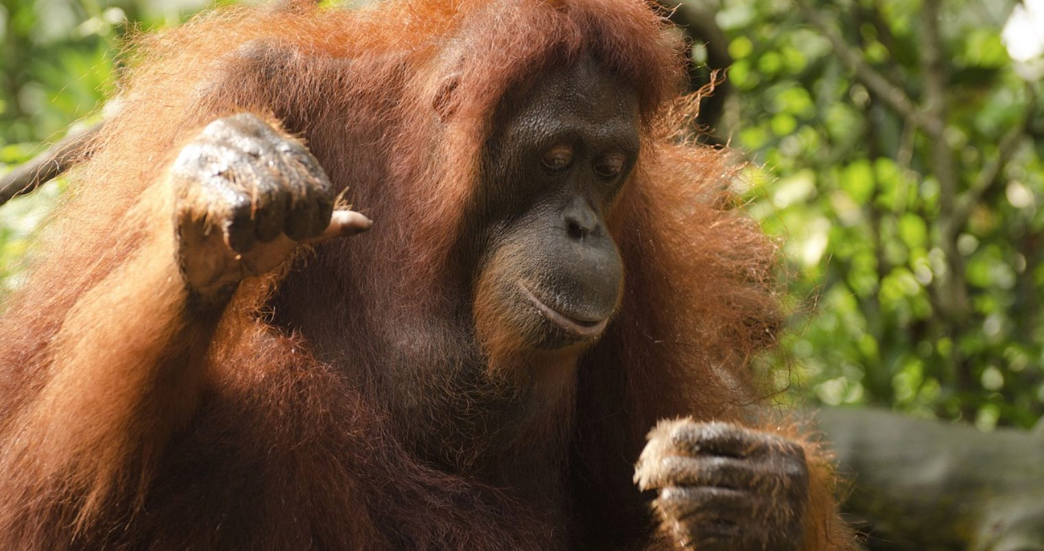 Orangutans and Palm Oil