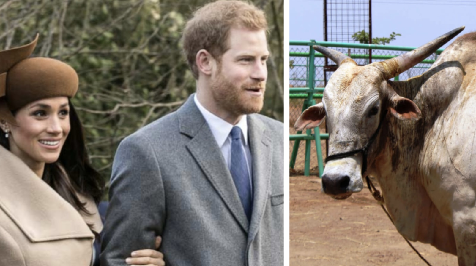 Vegan Charity Gives Prince Harry And Meghan Markle A Bull As A  Wedding Gift