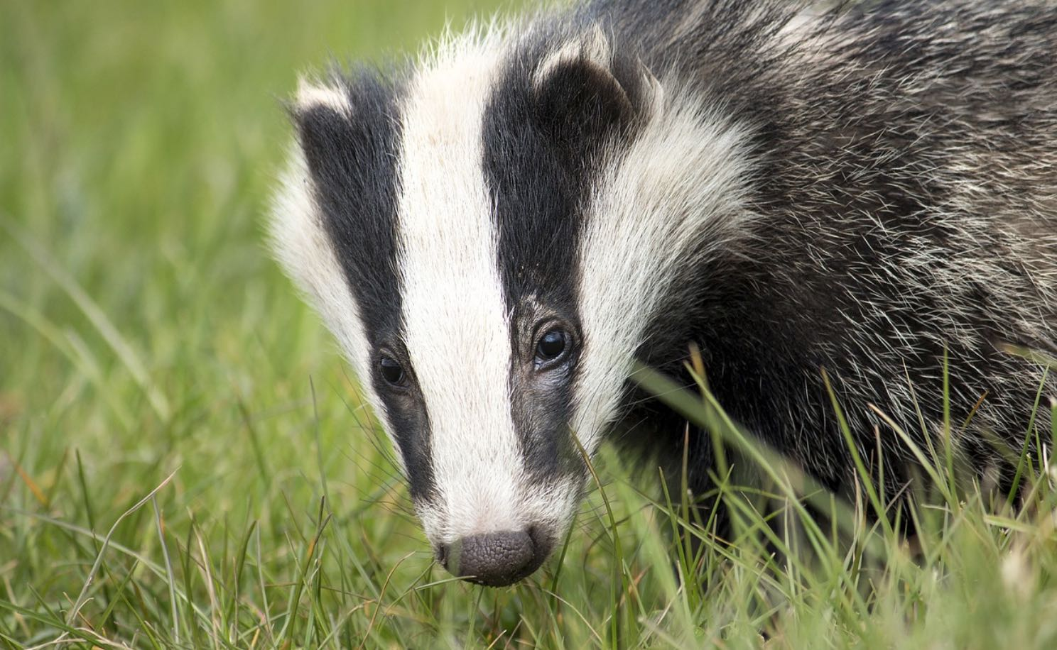UK Badgers