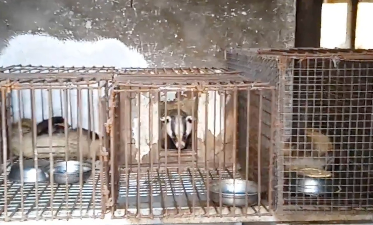 Badger in cages on a Chinese farm