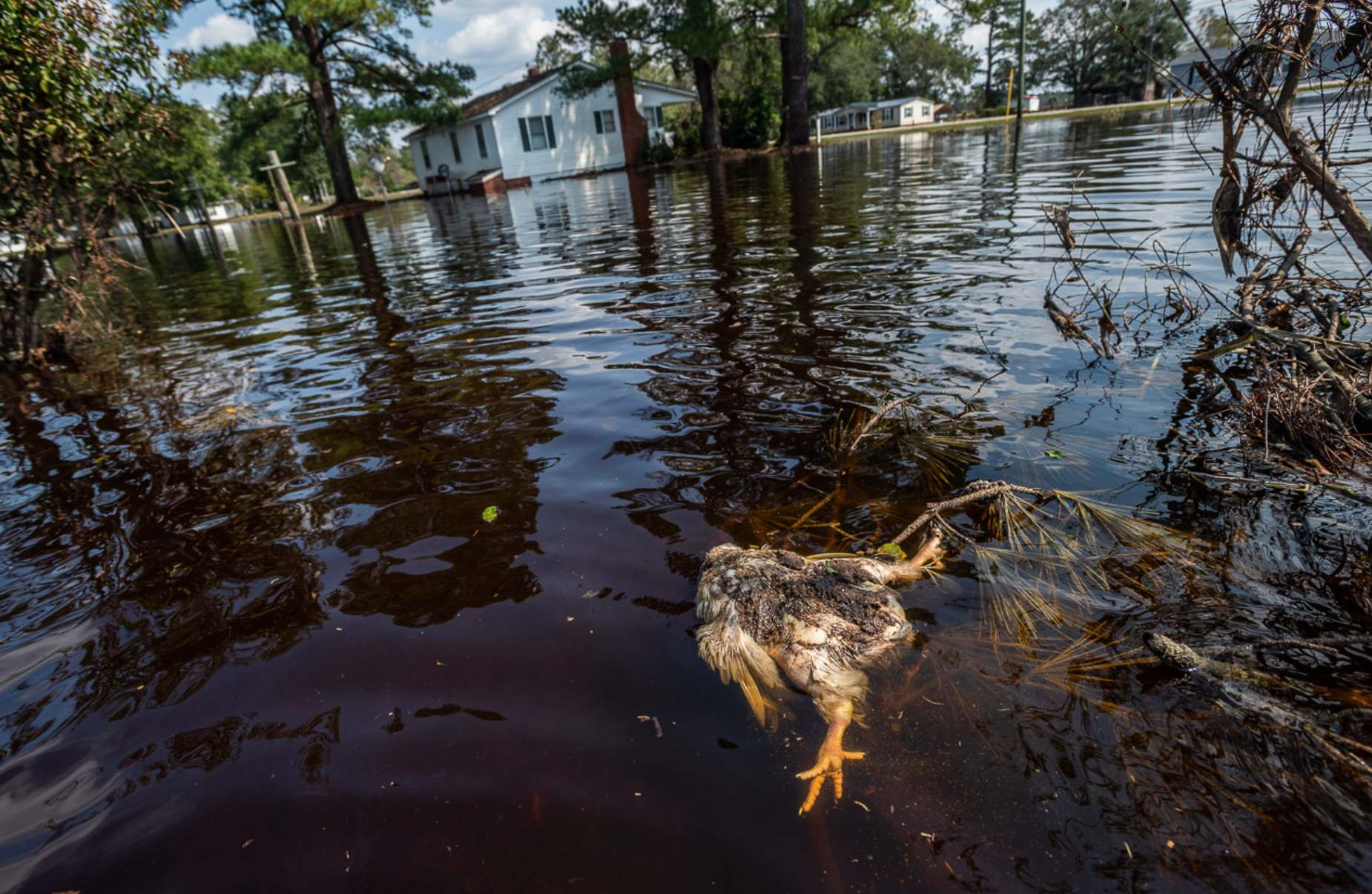 A chicken drowned by Hurrican Florence floodwaters