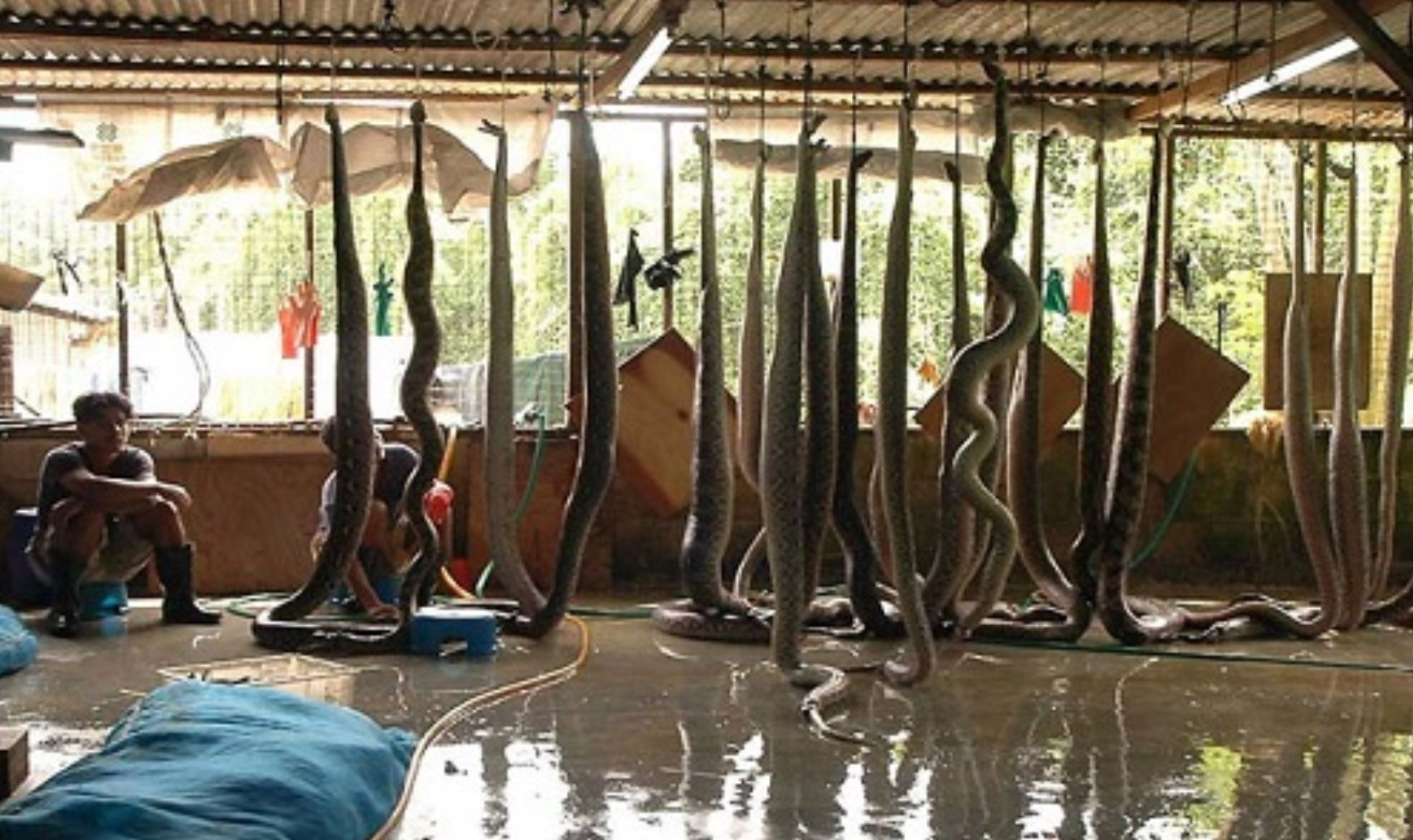 Snakes being hung for their skin