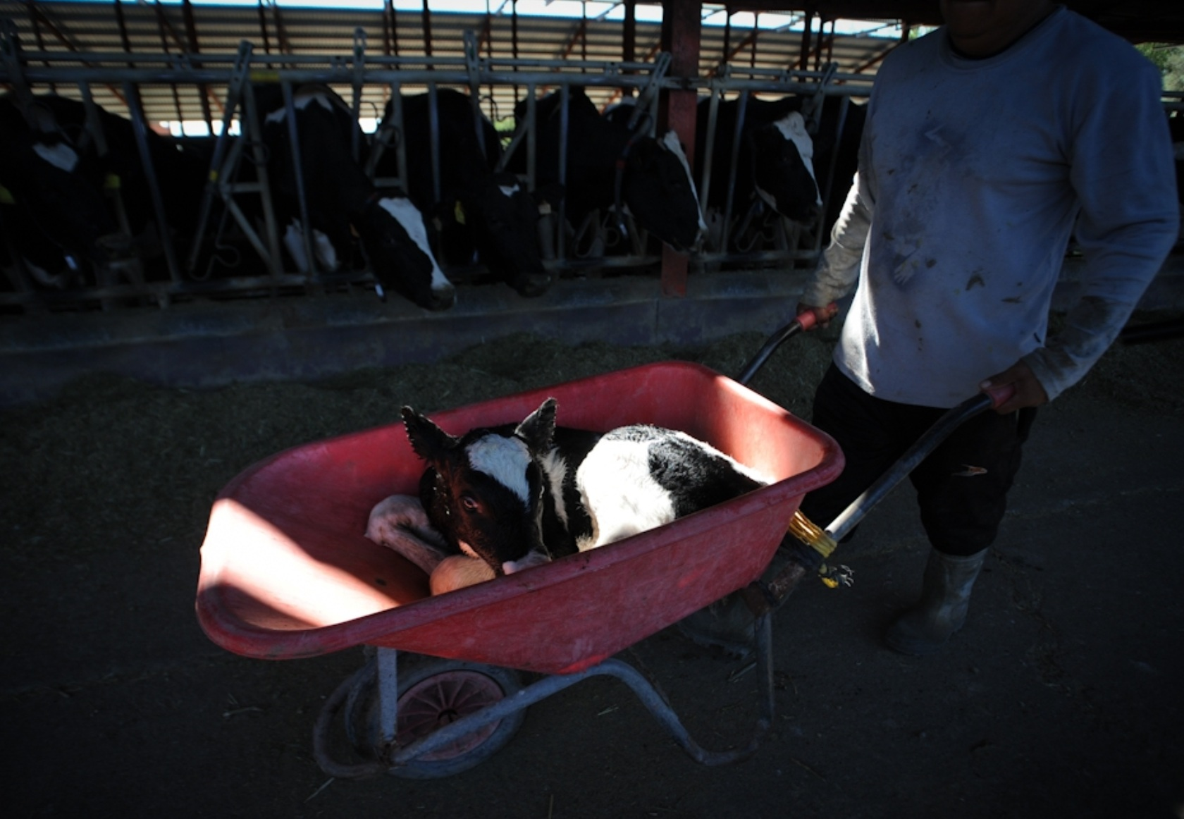 A dairy farm workr separates a calf from his mother