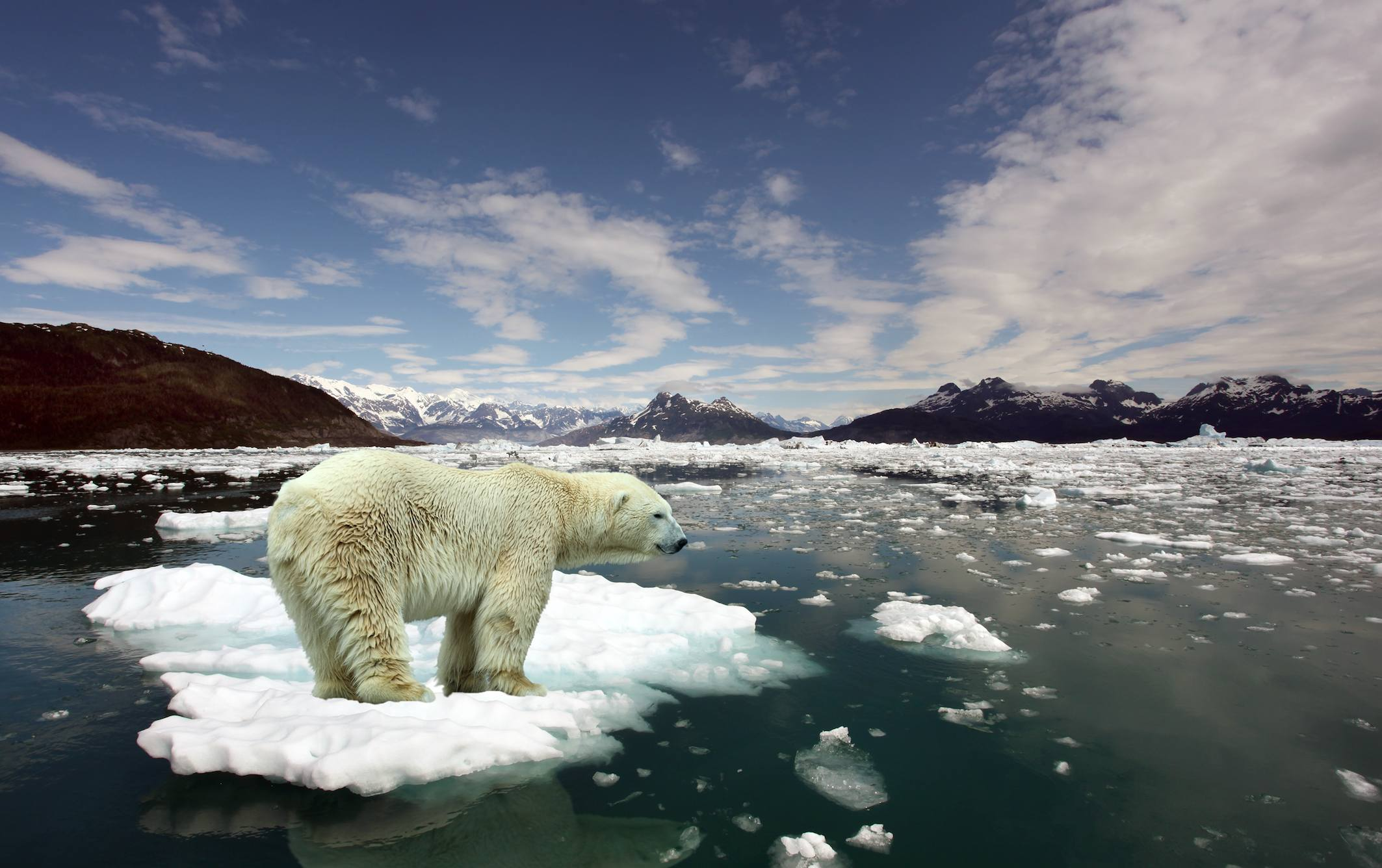 Polar bear on a melting ice cap
