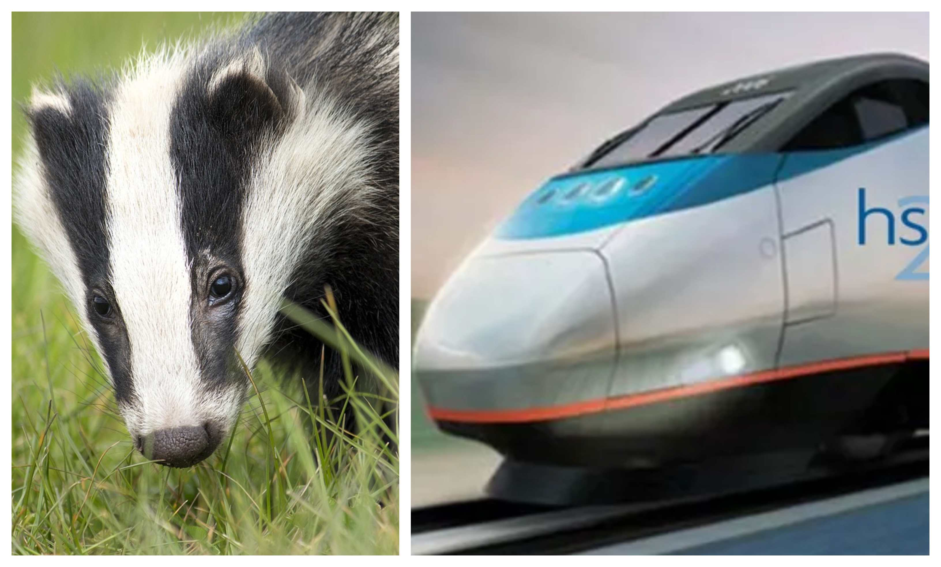 HS2 and a badger