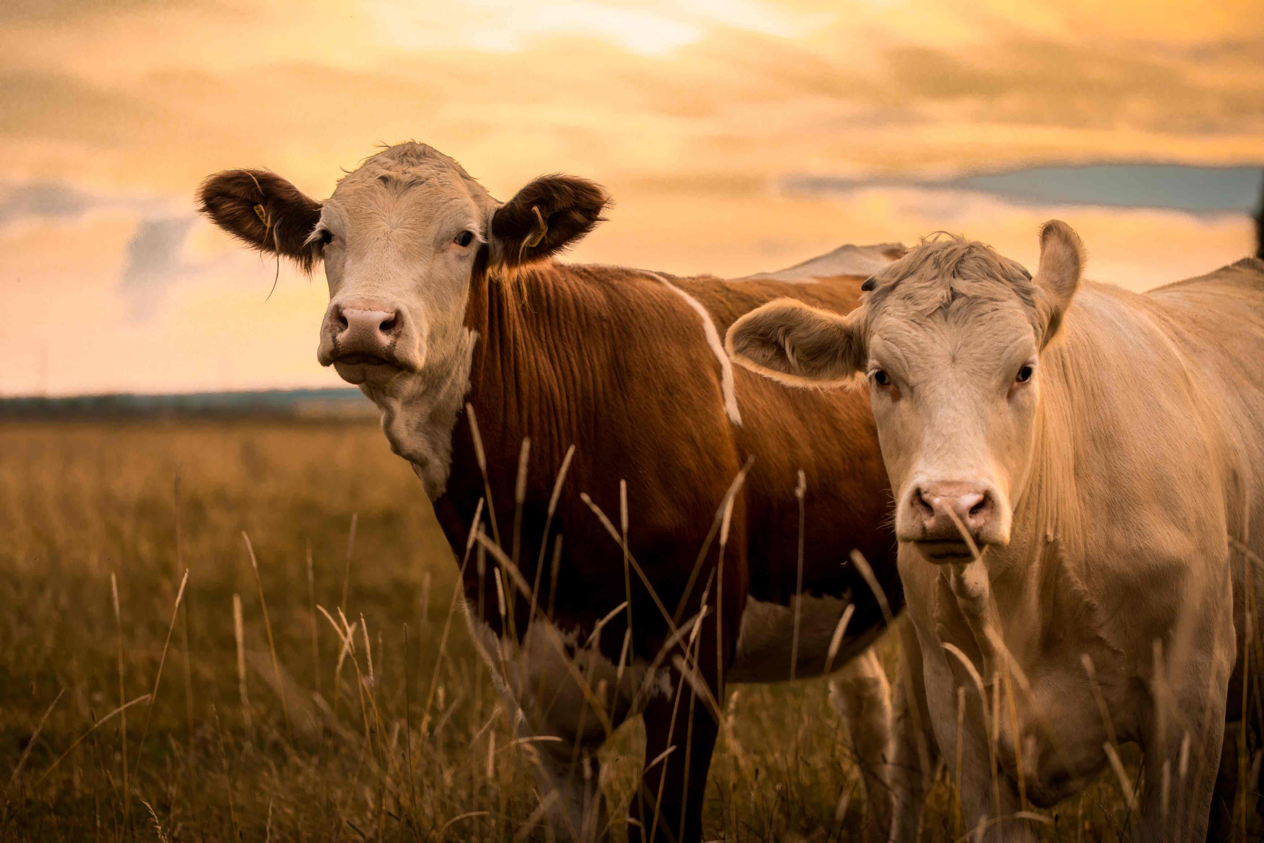 Cows on a farm at sunset