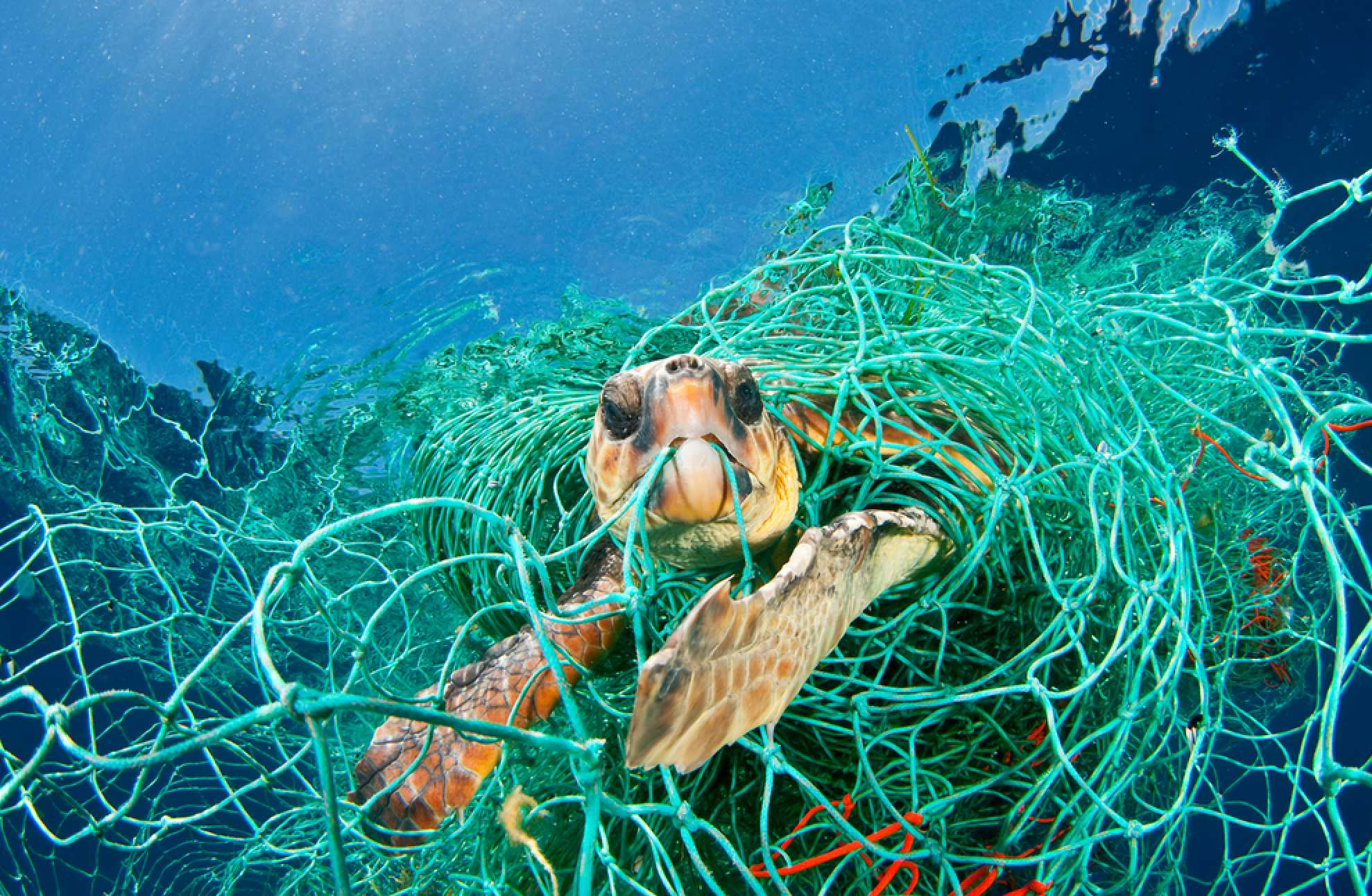 A turtle wrapped in discarded fishing net