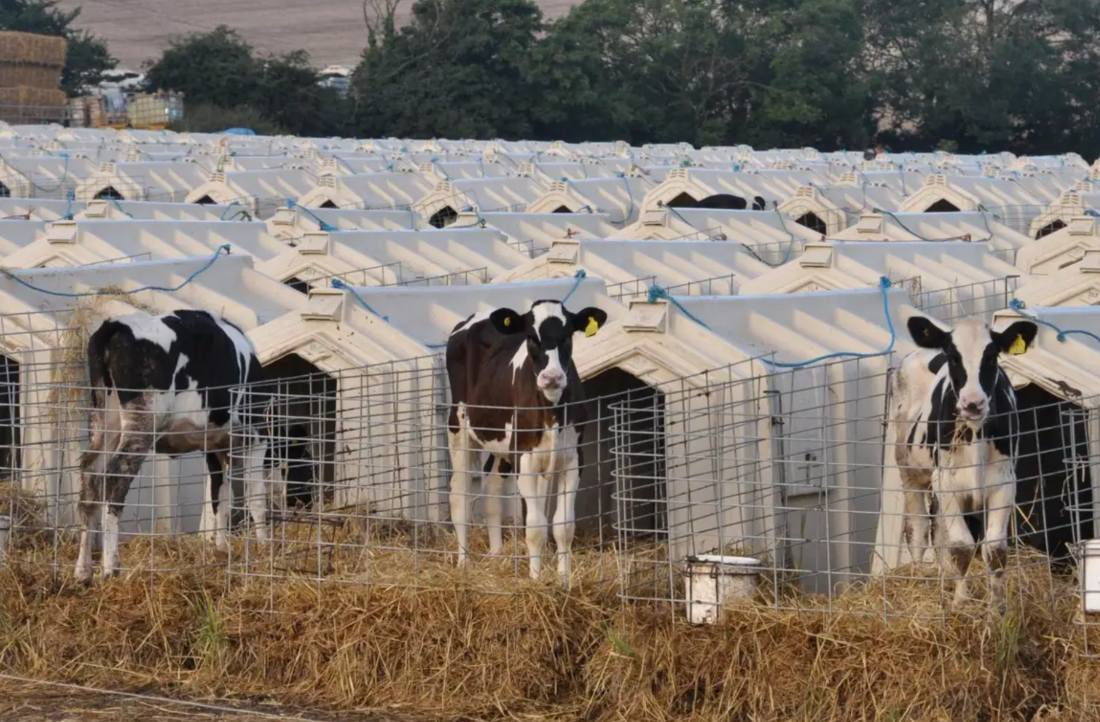 Dairy calves in hutches on a UK farm