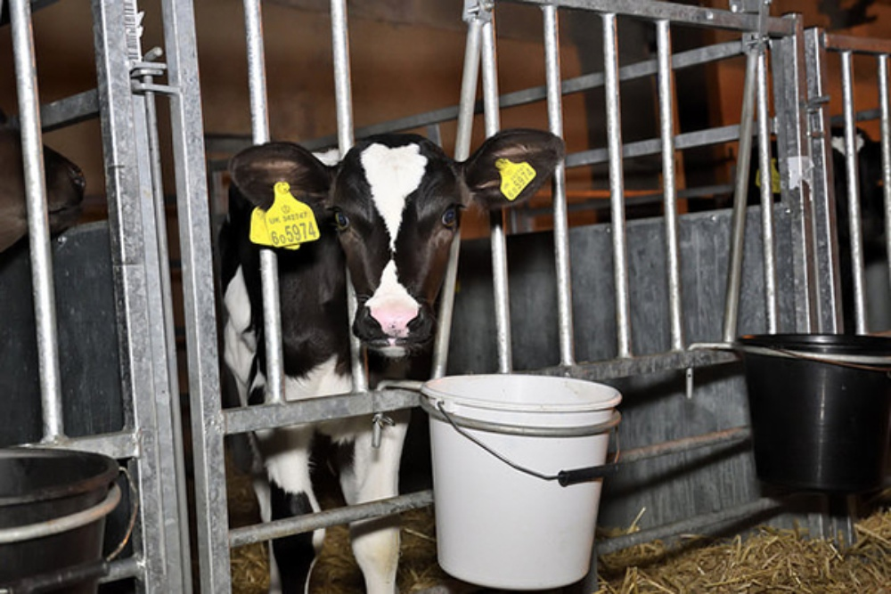 A calf on a dairy farm