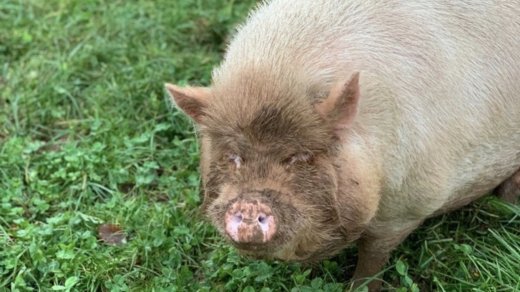 Dean Farm Trust Launches Fundraiser To Help Build A New Paddock For Rescued Pigs