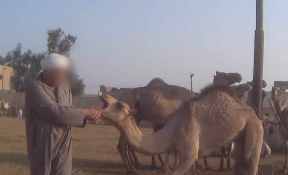 Undercover Investigation Shows Animals 'Beaten Bloody' In Egypt