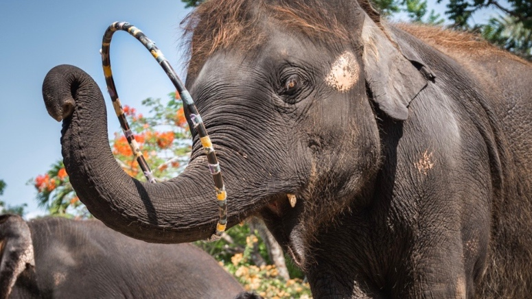 Performing Baby Elephant Dies After Campaign For His Freedom Went Viral