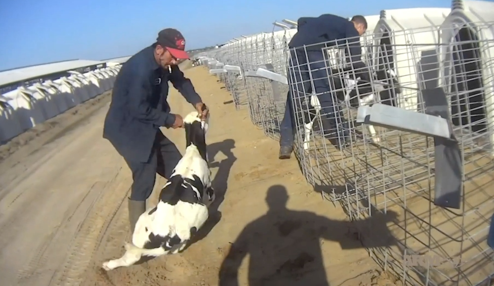 Major Dairy Farm Caught Lying About Selling Calves For Veal