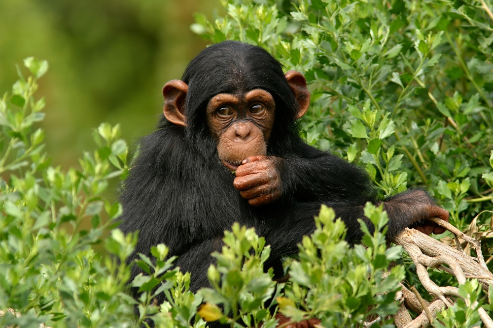 Chimpanzee Meat Being Eaten In UK, Says Report