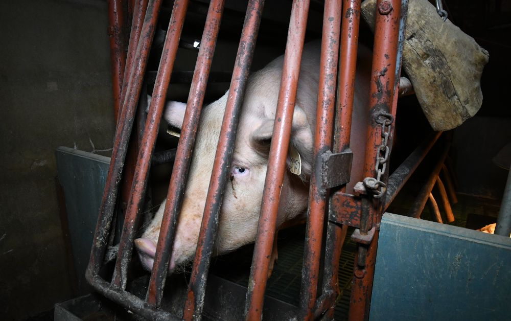 Investigation Finds Thousands Of Pigs In Farrowing Crates Across UK