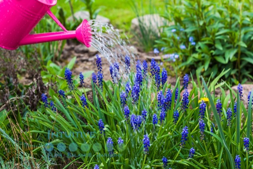 Image of a pink watering can pouring water on purple flowers