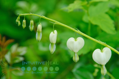 Photo of white bleeding heart flower
