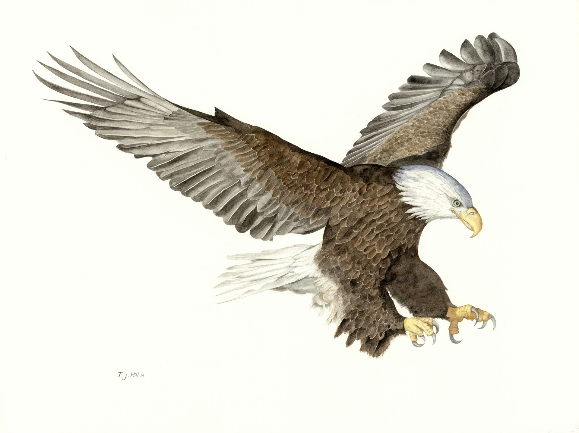 Watercolour Eagle