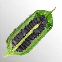 Photo of green pod with black sesame seeds (Sesamum indicum L.) as source of sesamin.