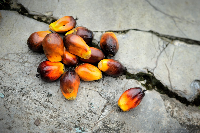 Individual fresh palm fruits