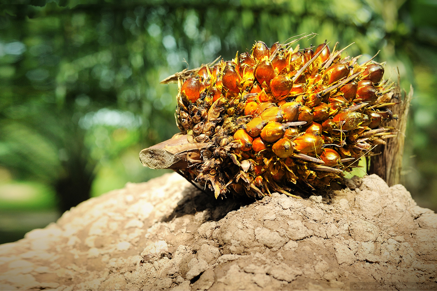 Cluster of fresh palm fruit