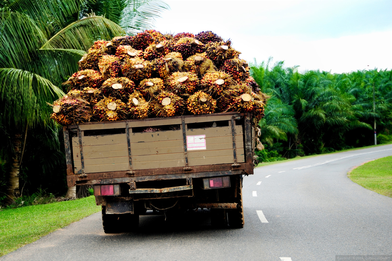 Truck of fresh palm fruit transporting for processing
