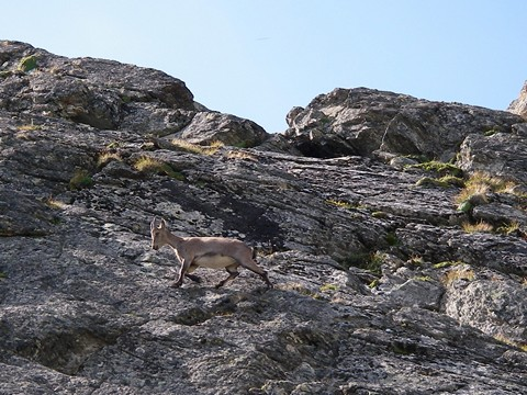 An ibex showing good rock clmbing skills
